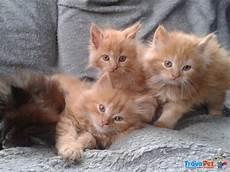 annunci gatti persiani meravigliosi gattini persiani con pedigree anf in vendita