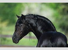 Fries / Paardenrassen   Nederlandsepaardenblog.jouwweb.nl