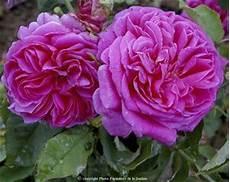 rosier ancien grimpant rosier grimpant ancien mme isaac pereire grandiflora