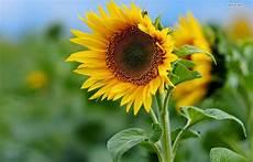Bunga Matahari Mari Mengenalnya Lebih Jauh Gambar Bunga