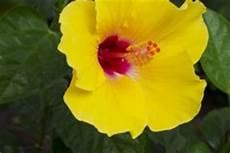 hibiskus als zimmerpflanze 187 das ist bei der pflege zu