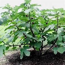 schnell wachsende sträucher ficus carica feigenbaum winterharte feige fc19