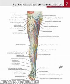 07 Lower Limb Jual Poster Di Juragan Poster