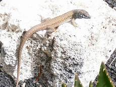 geco in casa villa casa albryna lanzarote lanzarote lizards