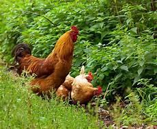 Hühner Im Garten - gl 252 ckliche h 252 hner im eigenen garten nachrichten at