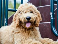 images puppy cut for a goldendoodle how to groom a goldendoodle timberidge goldendoodles