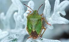 La Punaise L Insecte Rep 233 Rable 224 Odeur