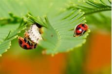 Insectes Et Cetera Les Australiennes Cochenilles Et
