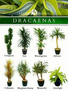 latin name dracaenas common name bamboo plant corn plant and alike type houseplant with
