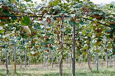 kiwi trellis 187 tips to string them up high