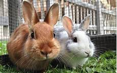 small pets how to handle rabbits guinea pigs and more