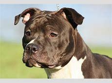 Amerikaanse Staffordshire terriër   Rassen   Honden