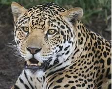 Jaguar Smile Valerio Is One Happy Boy And He Has Every