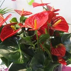 piante di fiori flower homes anthurium flowers