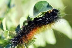 Insect Caterpillar Wallpaper by Caterpillars Insect Wallpaper Free Hd Images For