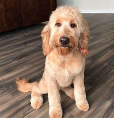 images puppy cut for a goldendoodle 20 best goldendoodle haircut pictures page 4 the paws