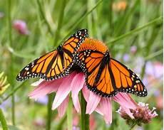 Malvorlage Schmetterling Mit Blume Schmetterlingsfreundliche Pflanzen Die Besten 10 Plantura