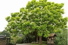 trompetenbaum pflanzen pflegen und 252 berwintern
