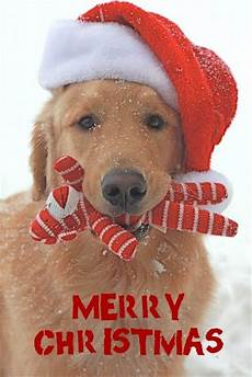 748 best christmas and animals images pinterest christmas animals christmas time and doggies