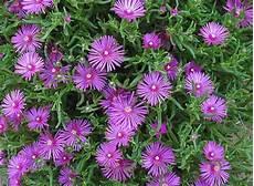 piante grasse fiori fucsia delosperma cooperi facile e resistente florablog