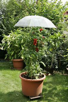 regenschirm 252 ber tomatenpflanze tomaten garten