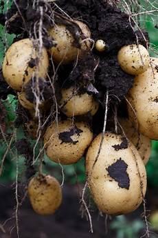 kartoffeln im hochbeet anbauen ndr de ratgeber