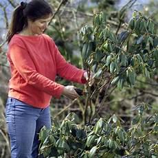 wann zurückschneiden rhododendron schneiden mein sch 246 ner garten