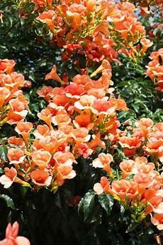 12 Tolle Vorschl 228 Ge F 252 R Schnellwachsende Kletterpflanze Im