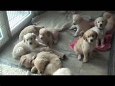 mit hund golden retriever welpen puppies