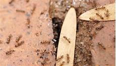 Ameisen Im Mauerwerk 187 Was K 246 Nnen Sie Dagegen Tun