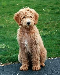 goldendoodle haircut my favorite dog doodle and my goldendoodle carlos goldendoodle haircuts goldendoodle dogs