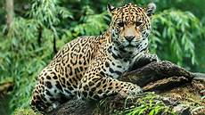 jaguar escapes habitat at zoo and kills 6 animals myfox8 com