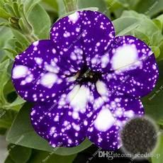petunien samen kaufen 2019 bag picotee blue morning seeds petunia