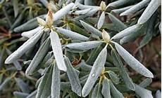 pflanze blätter rollen sich ein warum rhododendron bei die bl 228 tter einrollen