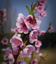 fiori di rosa fiori di pesco fiori rosa fiori di pesco juzaphoto