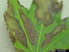 maple tree diseases lovetoknow