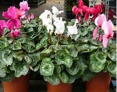 piante da appartamento con fiori bianchi pianta da interno piante appartamento caratteristiche