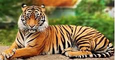 Ini 10 Fakta Menarik Tentang Si Raja Hutan Harimau