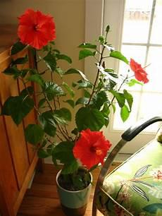 Hibiskus Pflege Zimmerpflanze - die beliebtesten zimmerpflanzen deutschlands