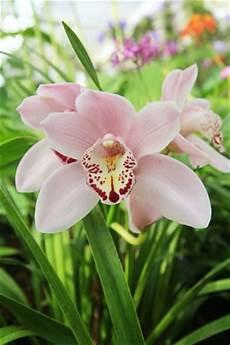 cymbidium orchideen pflege cymbidium orchideen pflege anleitung