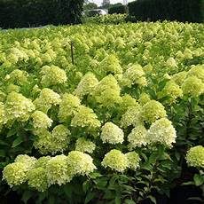 Hydrangea Paniculata Plant Limelight 174 Trees And Shrubs