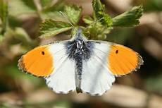 papillon en allemand aurore papillon wikip 233 dia