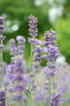 Lavendel Bl 252 Te