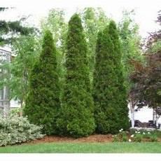 Thuja Occidentalis Smaragd Emerald Cedar Evergreens