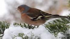 einheimische vögel im winter v 246 gel im winterlichen garten