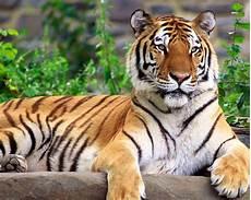 Gambar Foto Hewan Foto Hewan Harimau Sumatera