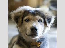 10  Dog Breeds Mixed With Husky