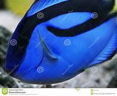 blue regal tang paracanthurus hepatus stock photo image