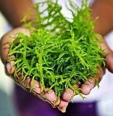 5 Manfaat Rumput Laut Untuk Kesehatan Cocok Untuk