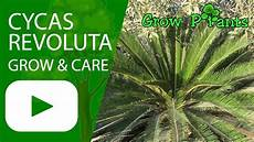 cycas revoluta grow care